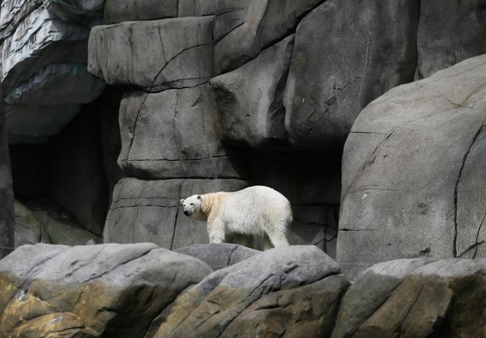 Белый медведь на инвентаризации в зоопарке Хагенберг. Фото: Joern Pollex/Getty Images