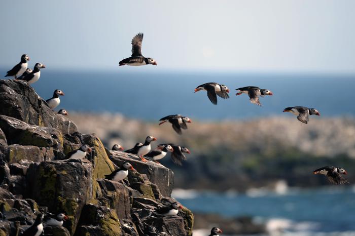 На островах Фарн началась перепись тысяч птиц топориков. Фото: Jeff J Mitchell/Getty Images