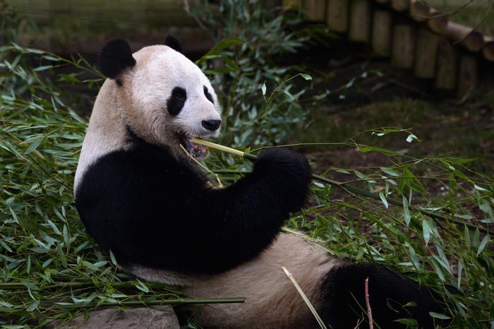 Гигантская панда Ян Гуан ждёт подругу. Фото: Jeff J Mitchell/Getty Images