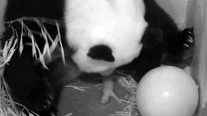 Гигантская панда Сян Мэй родила детёныша в Смитсоновском национальном зоопарке столицы США 23 августа 2013 года. Фото: Smithsonians National Zoo via Getty Images