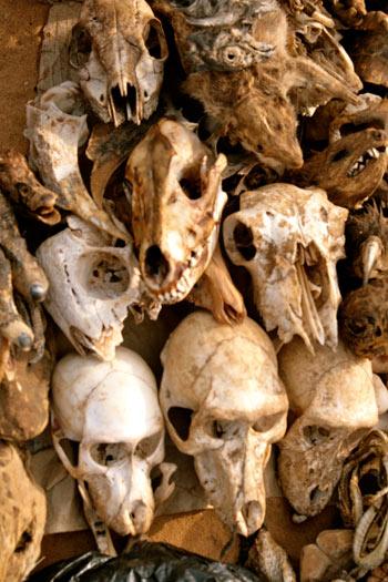 На длинных дощатых столах разложены тысячи засушенных ящериц и мышей, обезьяньих   черепов и голов леопардов, мумифицированных крыс, птиц, крокодилов, хамелеонов, а также   рогов, когтей, зубов, скелетов и шкур.  Фото предоставлено Валентином Ефремовым