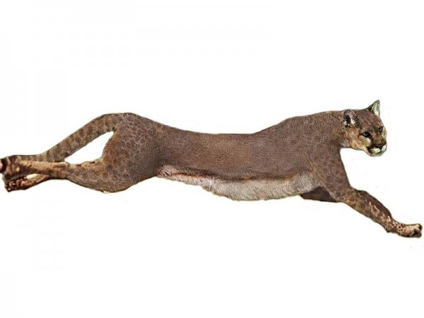 Американский гепард. Иллюстрация: Philip72