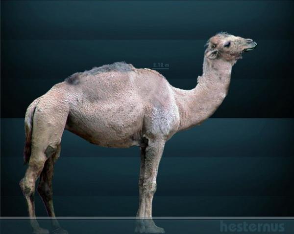 Североамериканский верблюд. Иллюстрация: Sergiodlarosa