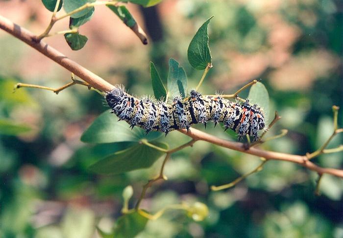 Гусеница мопане. Фото: Wikimedia Commons