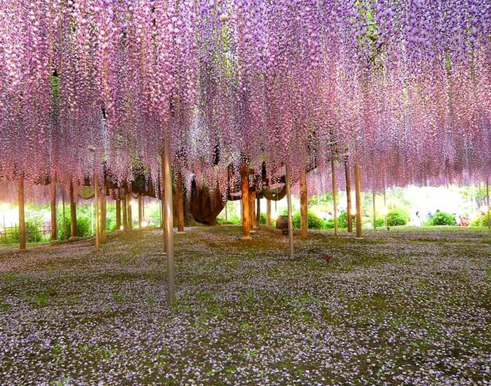 Специально созданные каркасы для глициний в парке Kawachi Fuji. Фото: Bronte Fusten/flickr.com