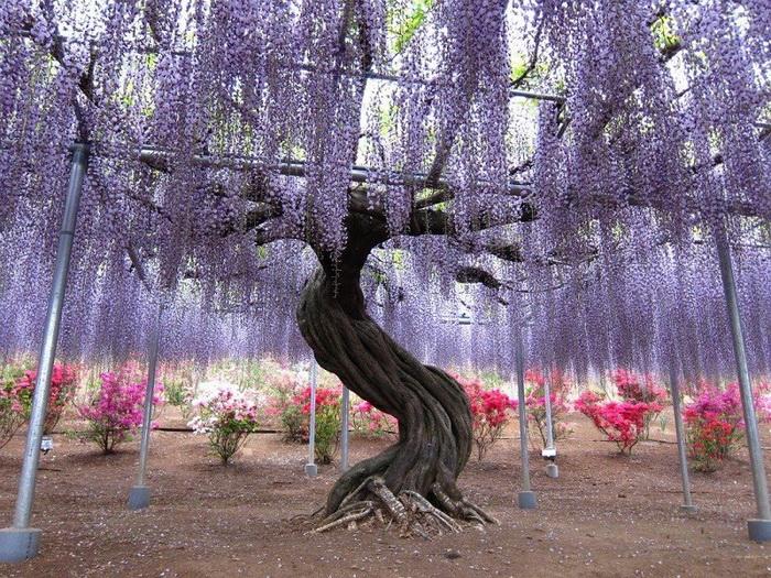 Свисающие гроздями кисти глициний в японском парке Kawachi Fuji. Фото: Bronte Fusten/flickr.com