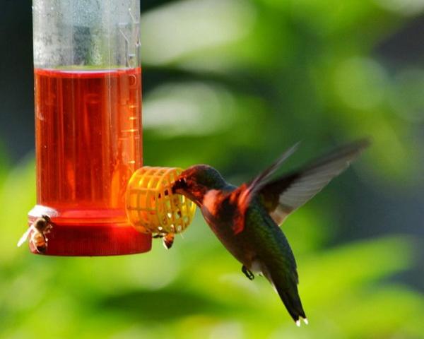 Глоток сахарной водой с утра обеспечивает колибри столь необходимой для него энергией. Фото: Cat Rooney/Великая Эпоха (The Epoch Times)