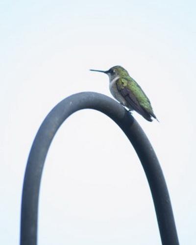 Оборонительными и агрессивными действиями обычно отличаются оба пола колибри. Фото: Cat Rooney/Великая Эпоха (The Epoch Times)