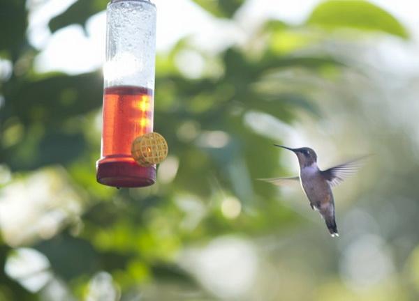Колибри — единственные птицы, которые могут летать как вперёд, так и назад. Фото: Cat Rooney/Великая Эпоха (The Epoch Times)