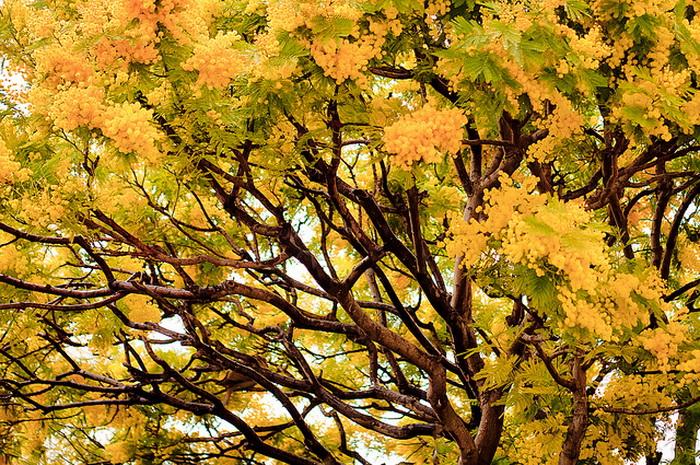 Мимоза — символ зимней Ривьеры, её ласкового климата, радостного и солнечного даже в феврале. Фото: Thomas Leth-Olsen/flickr.com