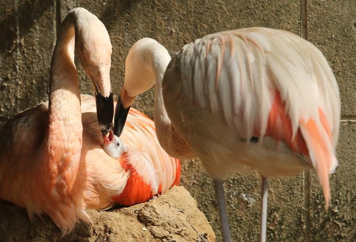 В японском Центральном парке Химедзи родился чилийский фламинго. Четыре дня спустя, 1 октября 2013 года, птенец показался публике. Фото: Buddhika Weerasinghe/Getty Images