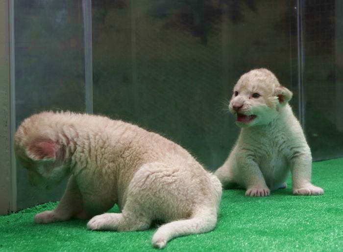 Семь белоснежных львят родились в японском зоопарке города Химедзи. Фото: Buddhika Weerasinghe/Getty Images