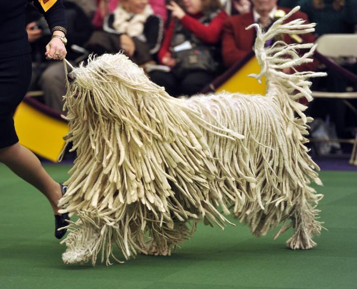Пастушья собака командор на самой престижной выставке собак в США — Вестминстерской, 11 февраля в Нью-Йорке.  Фото: TIMOTHY A. CLARY/AFP/Getty Images