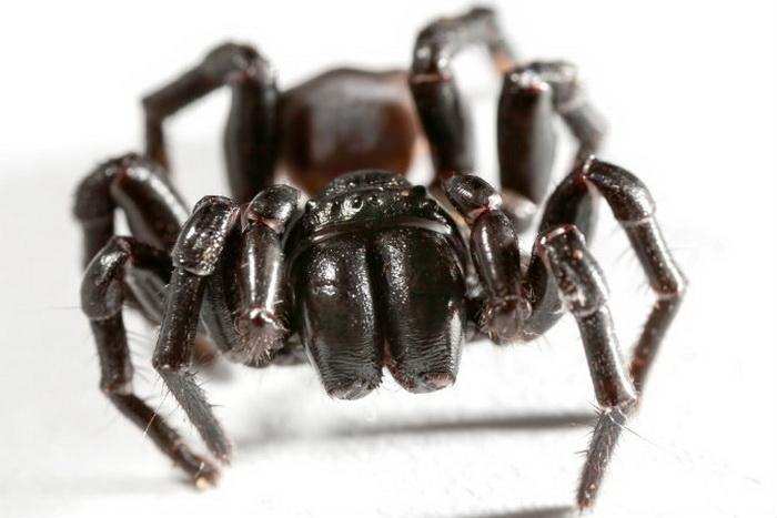 Сиднейский воронковый паук. Фото: Shutterstock