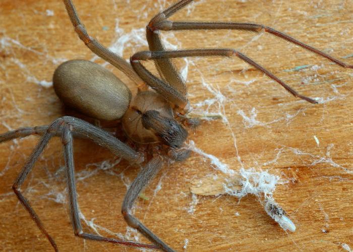 Коричневый паук
