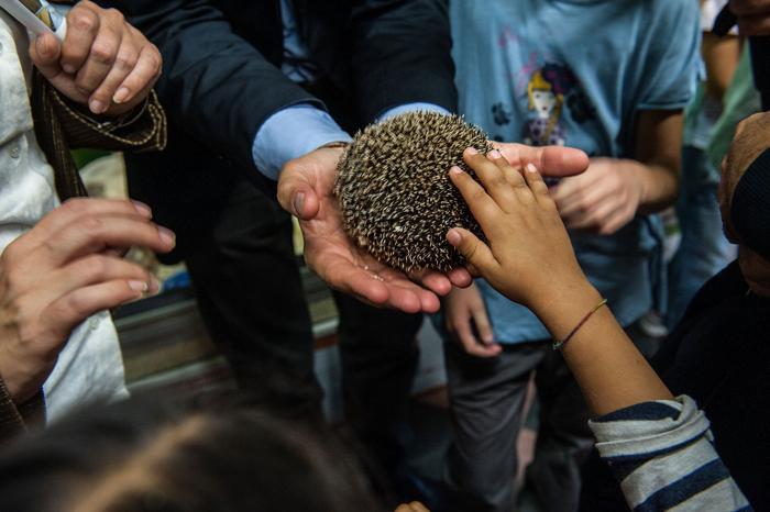 Африканский ёж участвует в образовательной программе «Вхождение в контакт с природой» 12 октября 2013 года в зоопарке Рима (Италия). Фото: Giorgio Cosulich/Getty Images