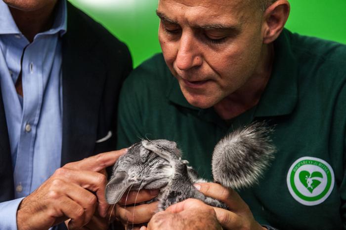 Шиншилла участвует в образовательной программе «Вхождение в контакт с природой» 12 октября 2013 года в зоопарке Рима (Италия). Фото: Giorgio Cosulich/Getty Images