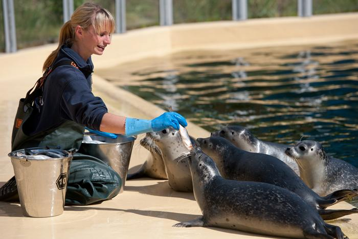 В немецком городе Норддайх расположена станция по изучению тюленей, которая спасает около 90 маленьких тюленей в год. 14 августа 2013 года специалисты центра отпустили повзрослевших животных в море в свободное плавание. Фото: David Hecker/Getty Images