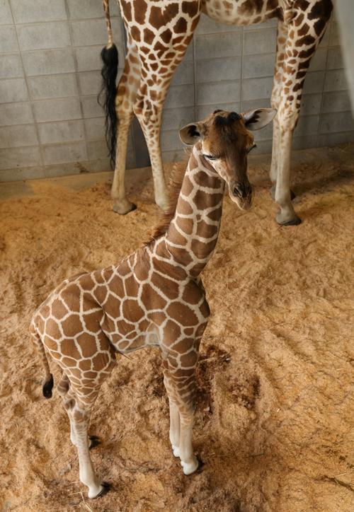 В центральном парке Химедзи (Япония) публике впервые представили новорождённого жирафа вместе с его мамой Мими 15 октября 2013 года. Фото: Buddhika Weerasinghe/Getty Images