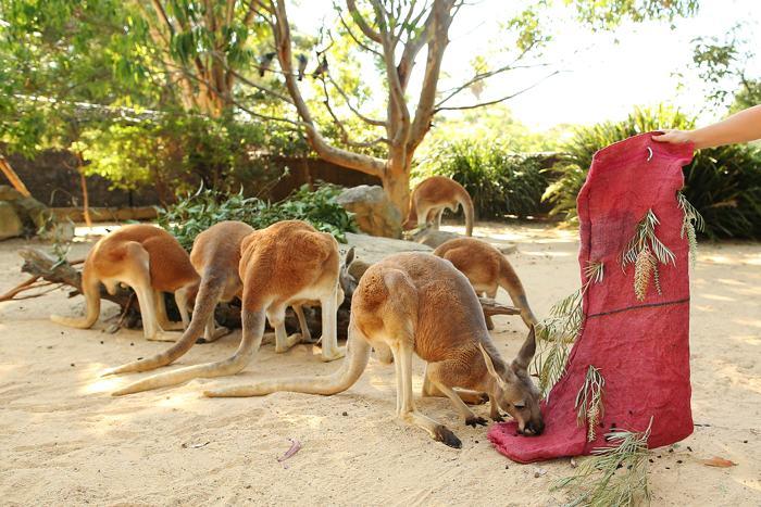 Кенгуру зоопарка Таронга 19 декабря получили особое угощение в рамках новогодних праздников. Фото: Brendon Thorne/Getty Images