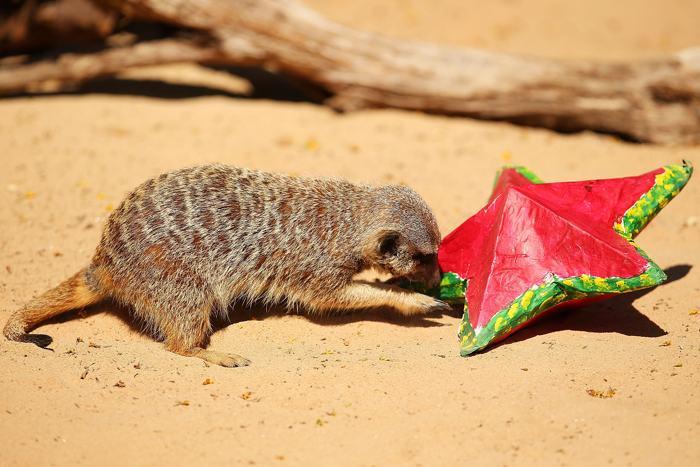 Сурикаты зоопарка Таронга 19 декабря получили особое угощение в рамках новогодних праздников. Фото: Brendon Thorne/Getty Images