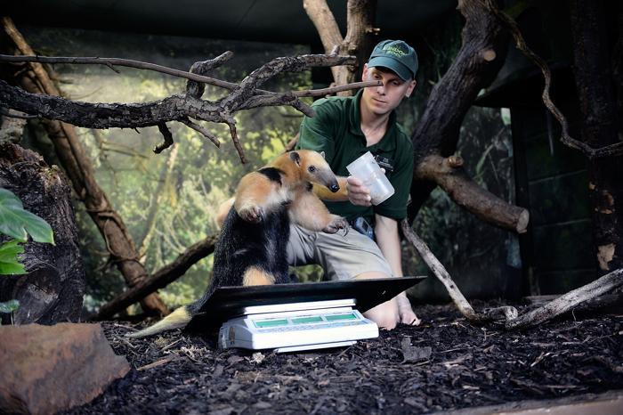 Четырёхпалый муравьед тамандуа Тэмми (6,8 кг) прошёл процедуру взвешивания в Лондонском зоопарке 21 августа 2013 года. Фото: Bethany Clarke/Getty Images