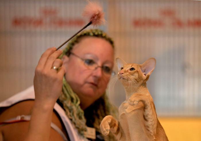 Выставка кошек в английском Бирмингеме, одна из самых крупных в Европе, прошла 23 ноября 2013 года. Фото: Matt Cardy/Getty Images