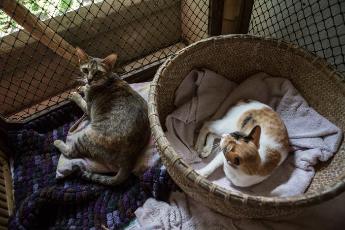 В культурной столице индонезийского острова Бали находится Вилла «Китти». Здесь живут брошенные кошки и котята со всего острова. Фото: Putu Sayoga/Getty Images