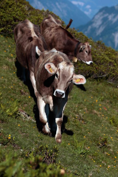 Пастух Мартин из села Дорнбирн вместе с семьёй пасёт скот в Тирольских Альпах каждое лето, продолжая древние альпийские традиции. Фото: Johannes Simon/Getty Images