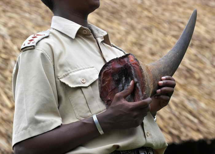 Для борьбы с браконьерством в рога носорогов имплантируют микросхемы. Таким образом Всемирный фонд дикой природы, финансирующий это мероприятие, и власти страны намерены ликвидировать преступный бизнес. Фото: ROBERTO SCHMIDT/AFP/Getty Images