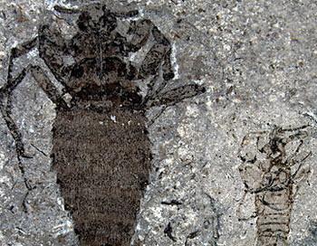 Самки (слева) доисторических блох были значительно крупней самцов.