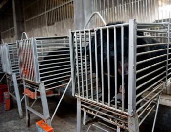 Медведей в клетках готовят к «сдаче» желчи, ферма Guizhentang, провинция Фуцзянь на юго-востоке Китая, 22 февраля 2012 года. Фото: STR/AFP/Getty Images