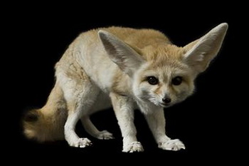163_1401_pale_fox.jpg
