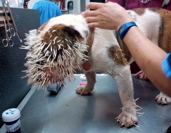 После встречи с дикобразом. Фото: Animal Emergency Center of Norman