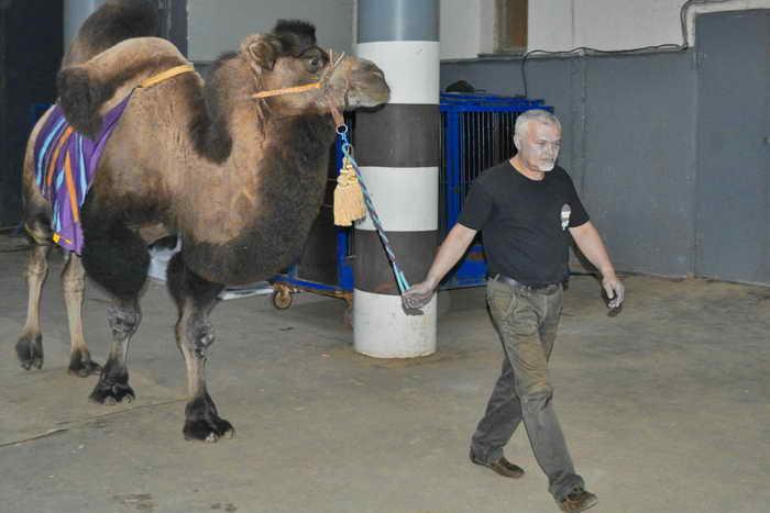 Дрессированный верблюд. Фото: Юлия Карпова/Великая Эпоха (The Epoch Times)