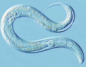 Caenorhabditis elegans. Фото: National Center for Biotechnology Information