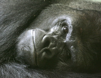 Berlins zoo.Gorilla. Фото: Marcus Brandt/Getty Images