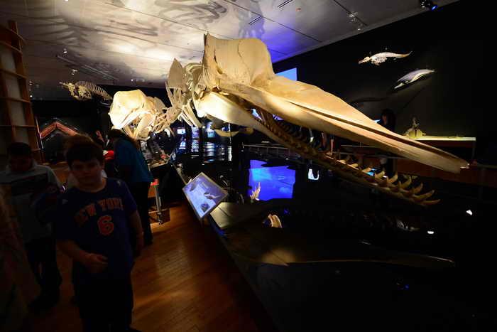 Выставка «Гиганты глубин» впервые открылась в Музее естествознания в Нью-Йорке.  Фото: EMMANUEL DUNAND/AFP/Getty Images