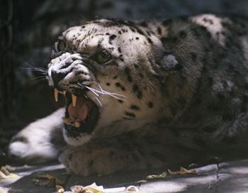Ирбис, снежный барс (Uncia uncia) - хищное млекопитающее семейства кошачьих. Фото РИА Новости