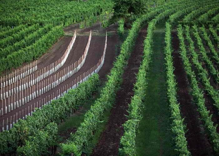 Венские виноградники, Австрия. Фото: Johannes Simon/Getty Images