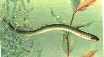 Минога речная. Фото с сайта www.fishtour.by