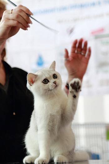 Британская короткошерстная кошка. Фото: Сергей Кузьмин/Великая Эпоха (The Epoch Times)