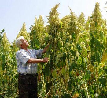Амарант - «неувядающий цветок». Фото с сайта www.bosynogi.ru