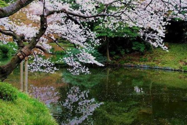 Цветение Сакуры в западной части района Токио, Минато-ку.  Фото: news.zhengjian.org