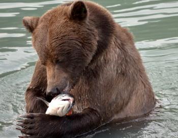 Дикий лосось ценится людьми как  ценный морепродукт, но рассматриваем ли мы, сколько лосося, медведей и экосистем необходимо для постановки задач хозяйственного планирования? Фото: Jennifer Allen