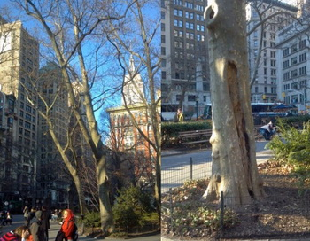 Хотя дерево (на снимке слева) хорошо растёт и биологически сильное, крупный план справа показывает его структурные слабости. Фото: Brad Gurr