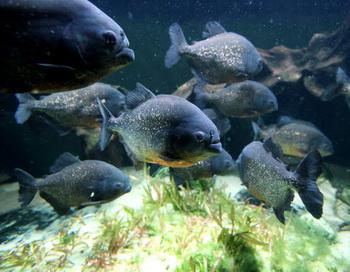 Хищные рыбы покусали в Бразилии туристов. Фото: Getty Images