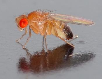 Плодовые мушки лечатся от ос-паразитов спиртом. Фото: Andrй Karwath/Wikimedia Commons