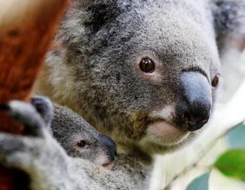 Коалы вошли в список животных, находящихся под угрозой исчезновения. Фото: Getty Images
