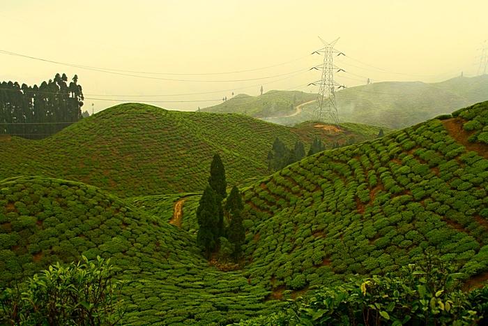 Чайные плантации в Дарджилинге. Darjeeling. Фото: Сима Петрова/Великая Эпоха (The Epoch Times)